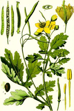 Rostopasca (Alchemidas)