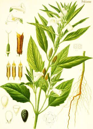 Susan (Sesamum indicum)