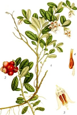 Merișor (Vaccinium vitis idaea)