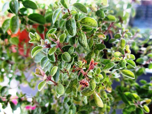 Maghiran (Majorana hortensis)