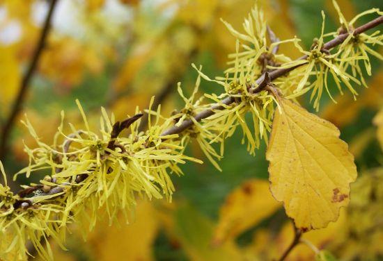 Hamamelis virginiana – Tratamente Miraculoase Pentru Femei