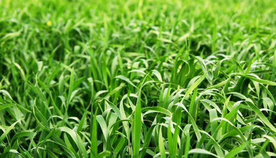 Cura cu Orz Verde Pentru Diverse Boli – Germeni, Suc și Pulbere (sxc.hu)