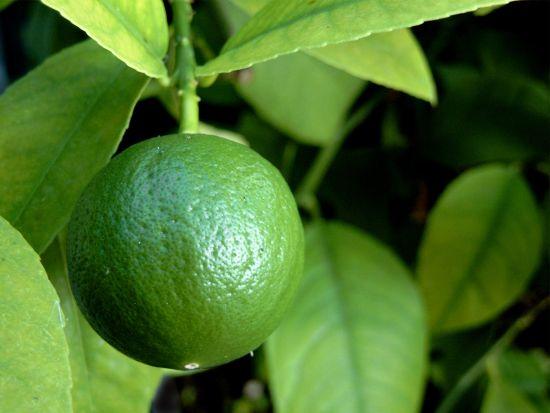Cum Să Cultivi Lămâi la Ghiveci – Plantarea și Îngrijirea Lămâiului