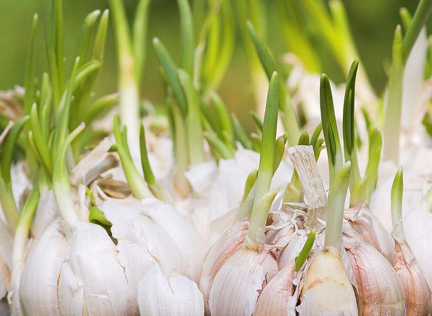 Cum să Crești Usturoi Verde la Ghiveci – Cultivare în 4 Pași