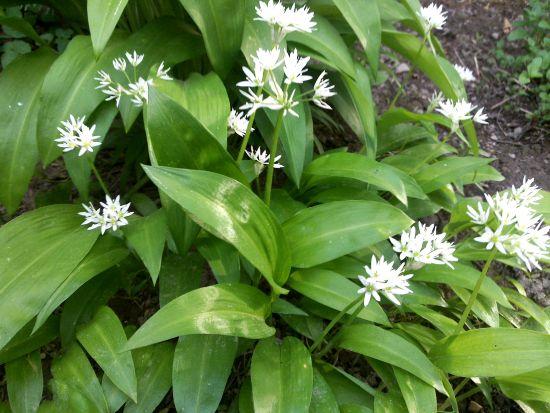 Leurda (Allium ursinum)