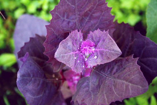 Loboda Roșie – Beneficii, Proprietăți, Cultivare