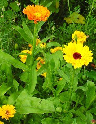 Gălbenelele, Plante Miraculoase