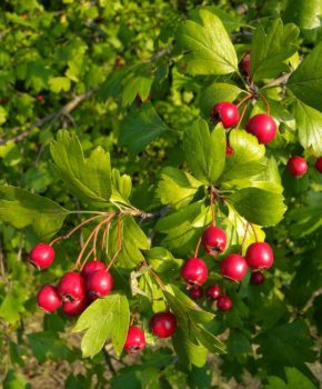 Tinctura Paducel si Valeriana ml » Pret 12,44Lei • Puterea Plantelor