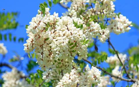 Apă de Flori de Salcâm – O Terapie Excepțională