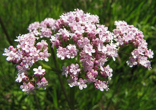 Valeriană (Valeriana officinalis)