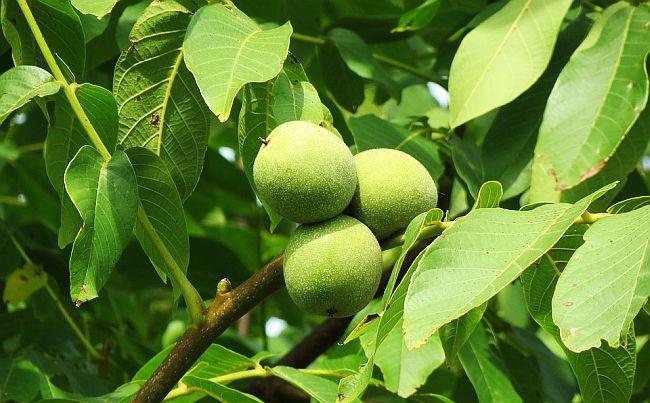 Ceaiul de Frunze de Nuc - Tratamente Interne și Externe
