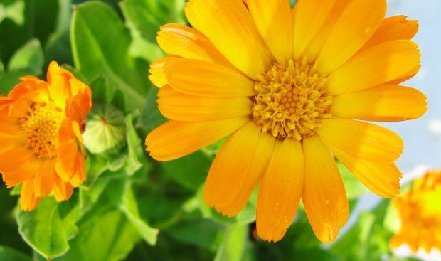 Varice – Tratamente Naturiste Recomandate de Maria Treben