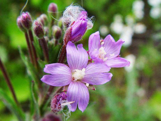 Pufuliță cu Flori Mici (Epilobium parviflorum)