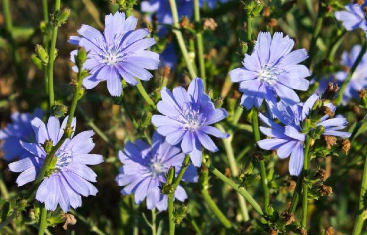 plante care detoxifica ficatul