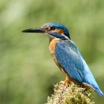pescarus albastru