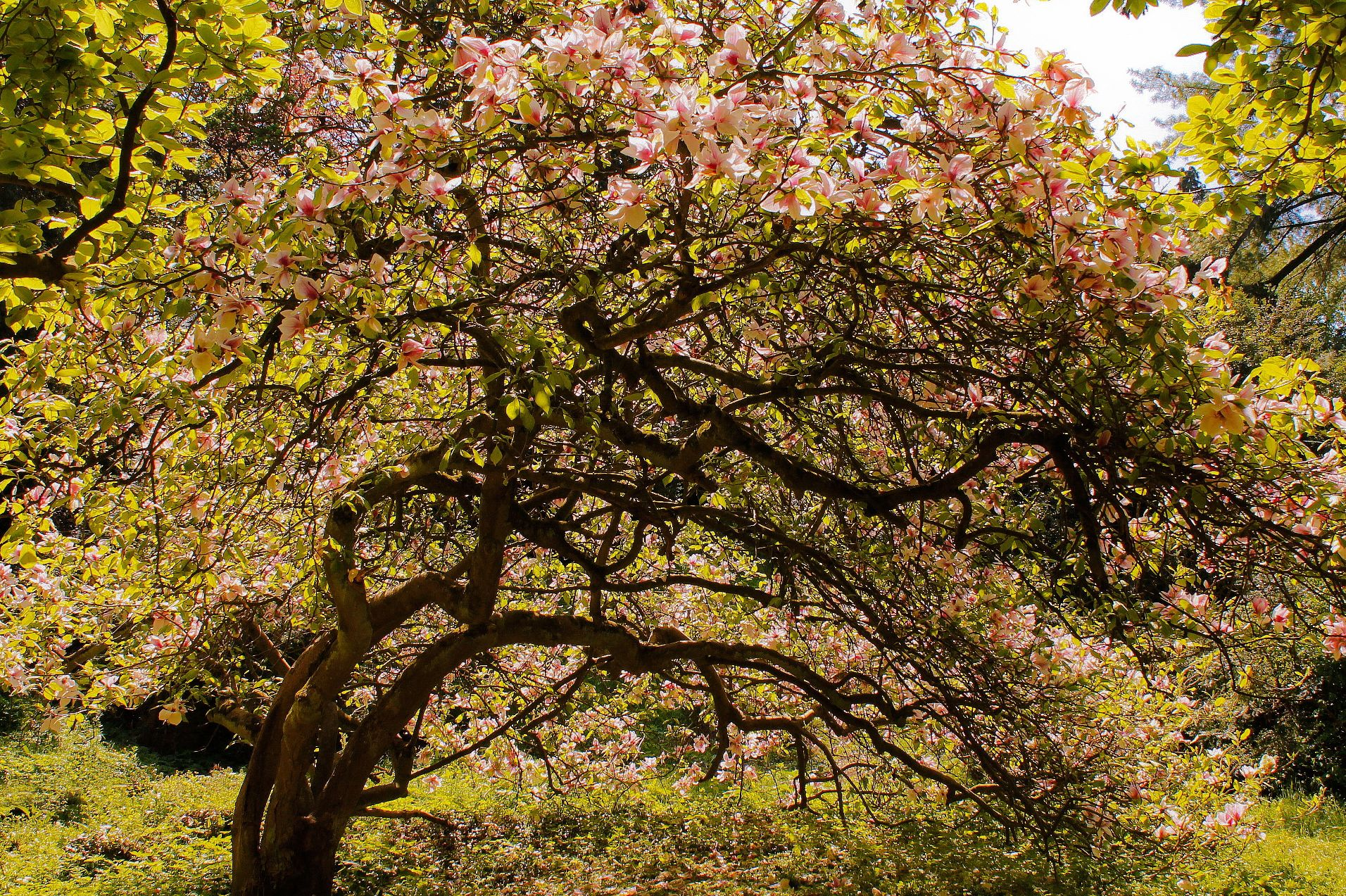 Magnolia_din_Arboretum_Simeria