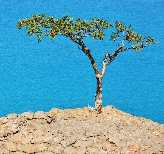 Arbore de Tămâie (Boswellia)