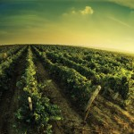 large_Wine_yard_Cap_Murfatlar