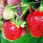căpșuni colesterol