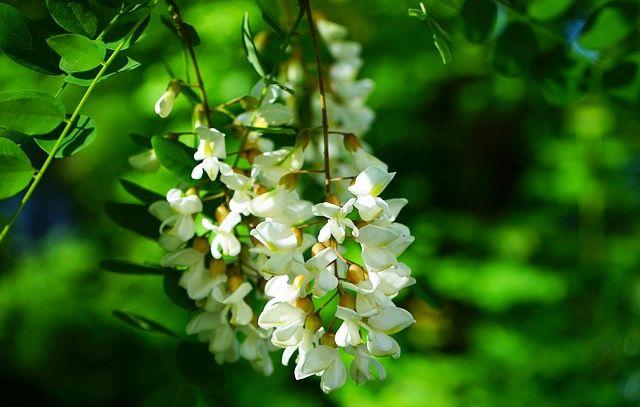 Flori de Salcâm