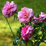 Trandafir - Beneficii
