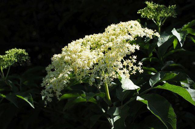 Floare de Soc