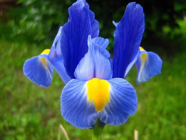 Iris - Proprietăți și Utilizări Medicinale