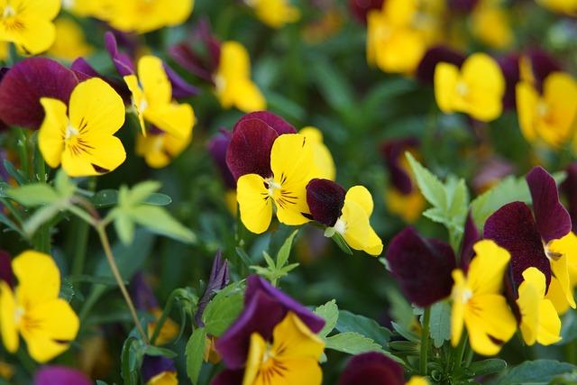 Trei-Frați-Pătați (Viola Tricolor)