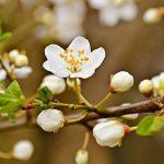 Flori de Prun Remedii