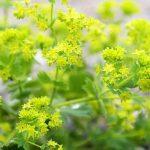 Crețișoară (Alchemilla vulgaris)