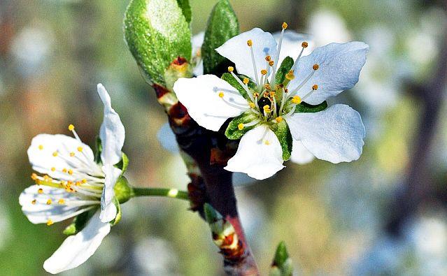 Flori de Prun