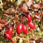 Fructe de Drăcilă