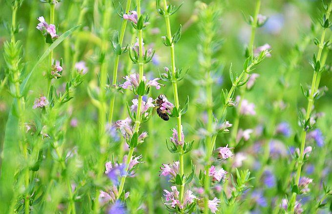 Isop - Plantă Medicinală Sfântă