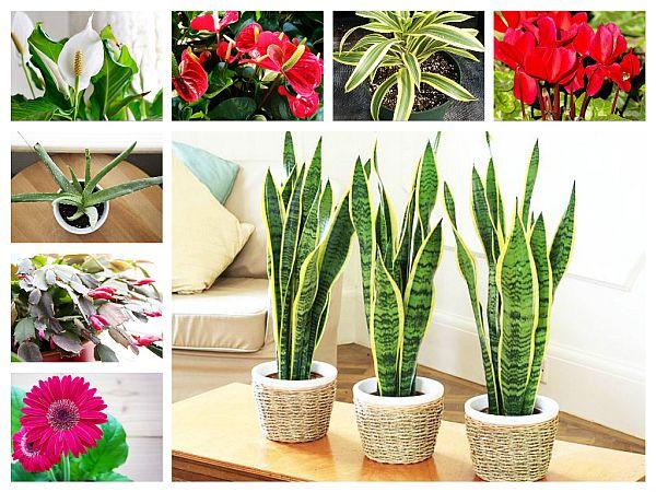 Plante Care Purifică Aerul