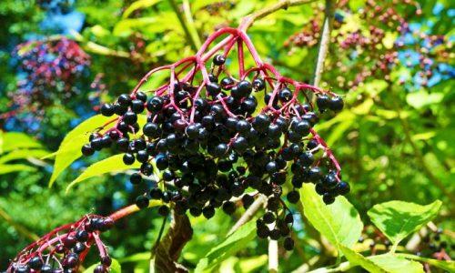 Fructe de Soc