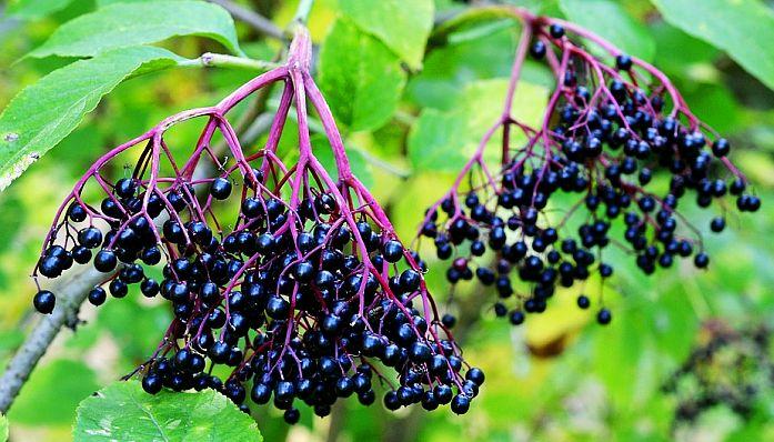 Fructele de Soc Ajută la Slăbit