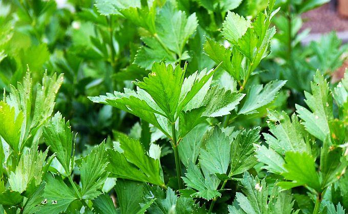 Pătrunjelul ca Plantă Medicinală