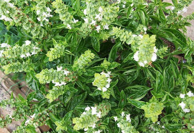 Busuioc (Ocimum basilicum)