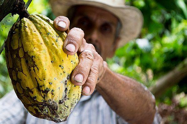 Arbore de Cacao