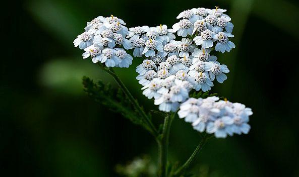 Paenyrubufeuri menopauza din plante